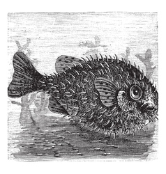Porcupine fish engraving vector