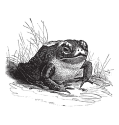 Common toad vintage engraving vector