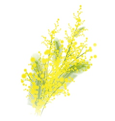 Mimosa flowers vector