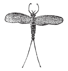 Mayfly vintage engraving vector