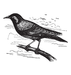 Common starling vintage engraving vector