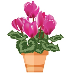 Pink cyclamen in a flower pot vector