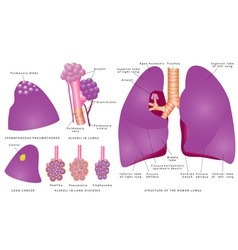 Structure of the human lungs vector