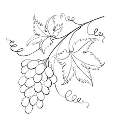 Bunch of grapevine vector