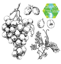 White grapes vector
