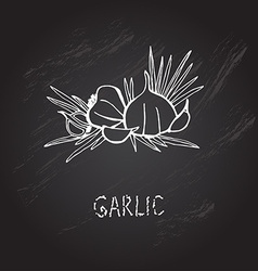 Hand drawn garlic vector