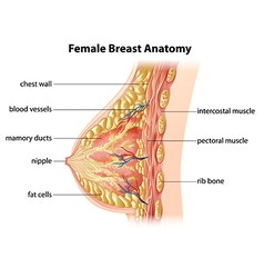 Female breast anatomy vector