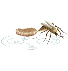 Mosquito laying eggs vector