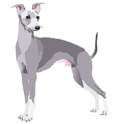 Greyhound dog vector
