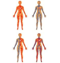 Human vascular system vector