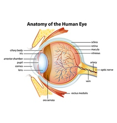 Human eye anatomy vector