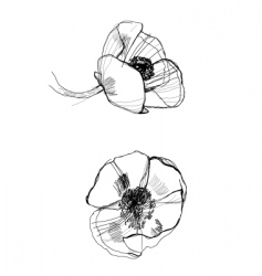 Drawing poppy vector
