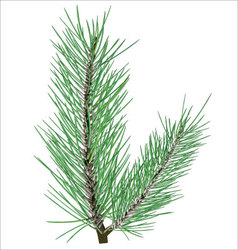 Pine branch on white background vector