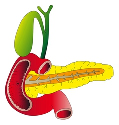 Human digestive organs the pancreas gallbladder du vector