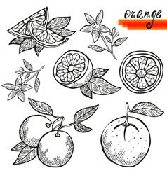 Orange fruits vector