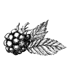 Blackberry hand drawn sketch vector