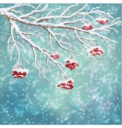 Winter snow covered rowanberry branch background vector
