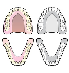 Tooth chart vector