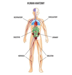 Human anatomy vector
