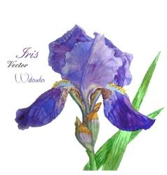 Iris watercolor 4 vector