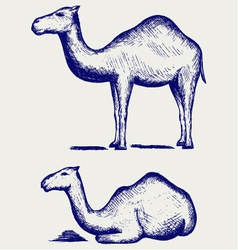 Standing and lying camels vector