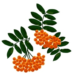 Mountain ash branches set isolated on the white vector