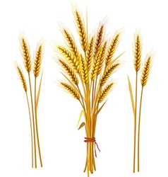 Spike wheat vector