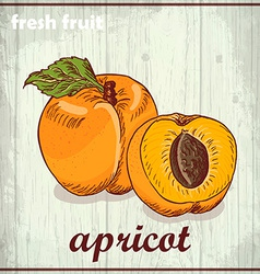 Hand drawing of apricot fresh fruit sketch vector