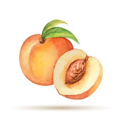 Peach hand drawn watercolor vector