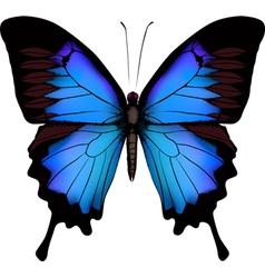 Blue butterfly papilio ulysses mountain swallowtai vector
