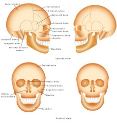 Human skull structure vector