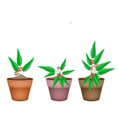 Tiliacora triandra plants in ceramic flower pots vector