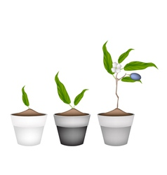 Chinese olives plants in ceramic flower pots vector