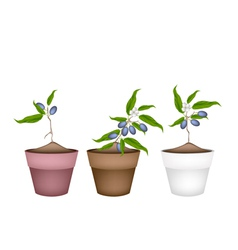Chinese olive plants in ceramic flower pots vector