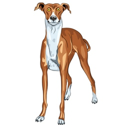 Surprised dog breed greyhound vector