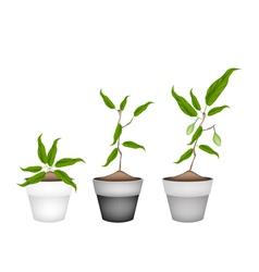 Three chebulic myrobalans in ceramic flower pots vector