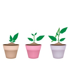 Mung bean plants in ceramic flower pots vector