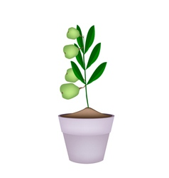 Unripe walnuts on tree in ceramic flower pots vector