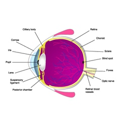 Structure of human eye two vector