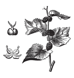 Black mulberry vintage engraving vector