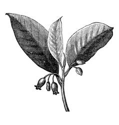Nutmeg vintage engraving vector