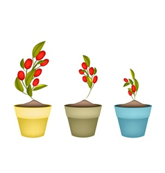 Ripe olives on branch in ceramic flower pots vector
