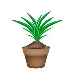 Fresh pandan plant in ceramic flower pots vector