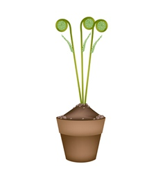 Fresh green fiddleheads in ceramic flower pots vector