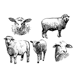 Five sheeps vector