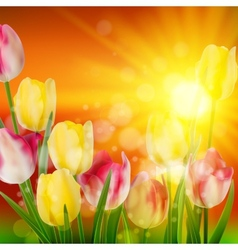 Sunset over field of colorful tulip eps 10 vector