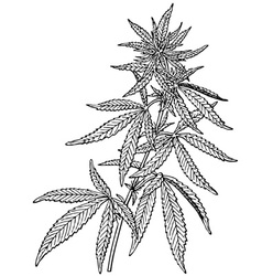 Plant cannabis sativa vector