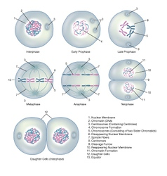 Interphase and mitosis vector
