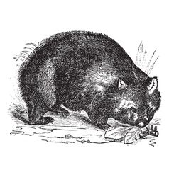 Common wombat vintage engraving vector