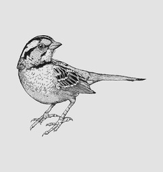 Little sparrow vector